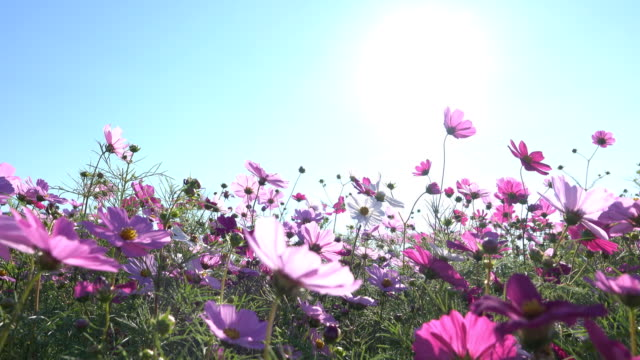 4K:Beautiful Cosmos flowers