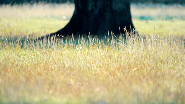 4 k: 夕日の美しい草原の大きな木 - ローアングル点の映像素材/bロール