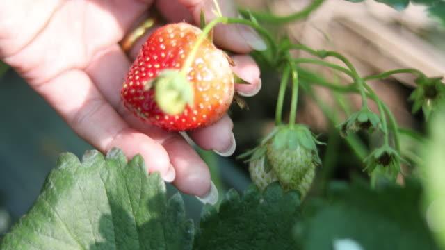 4K:Close Up Hand Picking Fresh strawberry video