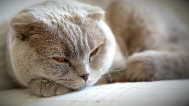 4K:Sleepy scottish fold cat