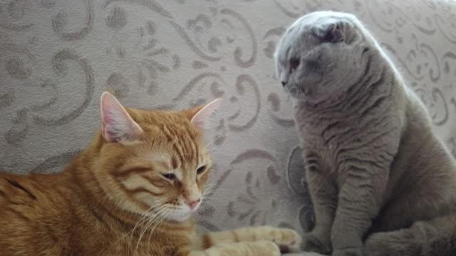 ソファの上に横たわる 4k:two 猫 - 2匹点の映像素材/bロール