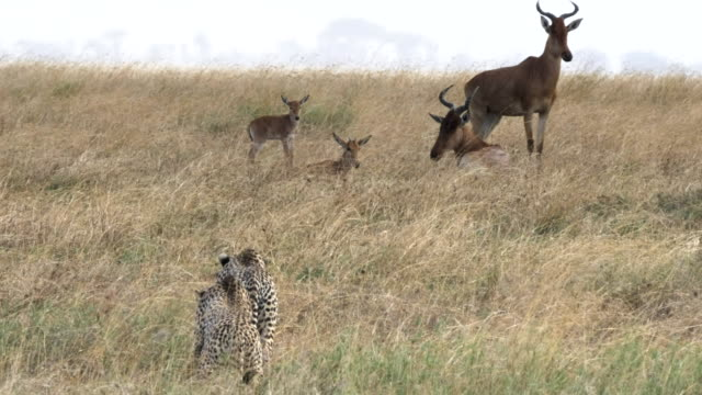 60p 4K close up of a cheetah pair stalking antelope at serengeti national park