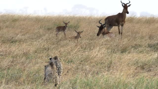 vidéos et rushes de 60p 4 k gros plan d'une antilope traque paire de guépard au parc national de serengeti - chasser