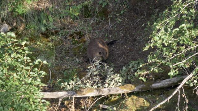 clip de 60p de castor transportant une succursale à yellowstone - Vidéo