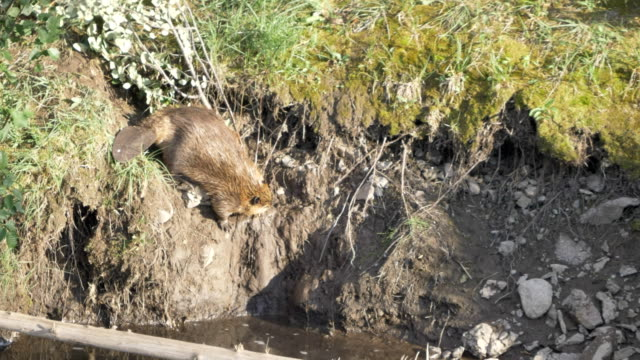 Clip de 4P 60 K de castor en tirant une branche d'arbre dans une rivière yellowstone - Vidéo