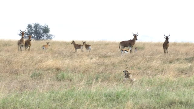 4K 60p clip of a cheetah pair stalking hartebeest and gazelle at serengeti