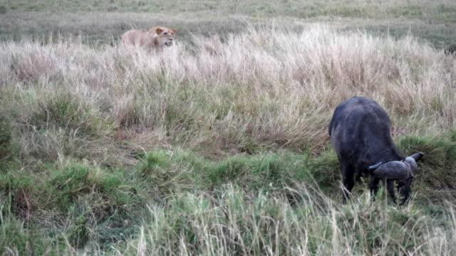 stockvideo's en b-roll-footage met 4k 60p clip van een leeuw stalking een afrikaanse buffel op masai mara in kenia - leeuwin