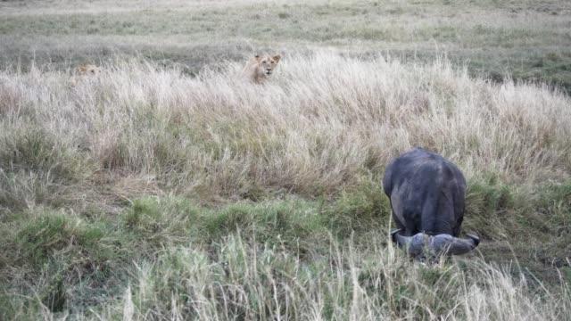 stockvideo's en b-roll-footage met 4k 60p clip van leeuwen stalking een afrikaanse buffel op masai mara in kenia - leeuwin