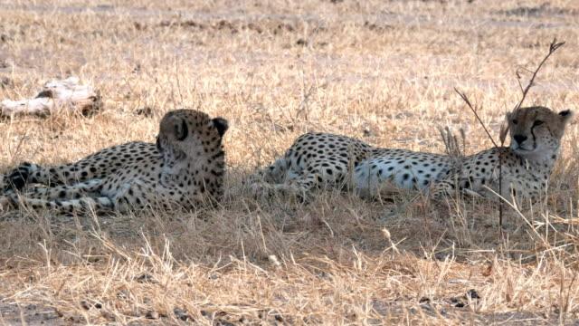 4k 60p pan of two cheetahs lying in shade at tarangire np - penombra video stock e b–roll