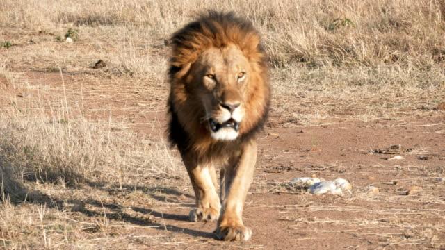 4K 60p shot of a male lion approaching directly at masai mara
