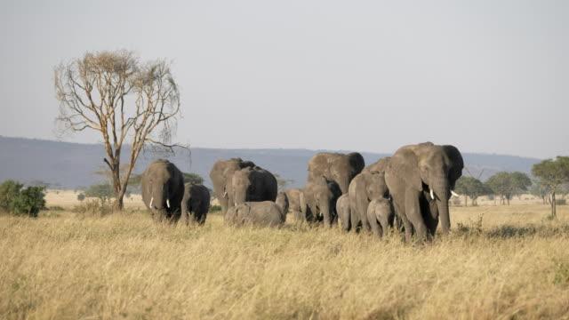 4k 60p 拍攝的大象群在塞倫蓋蒂走向鏡頭 - 野生動物 個影片檔及 b 捲影像