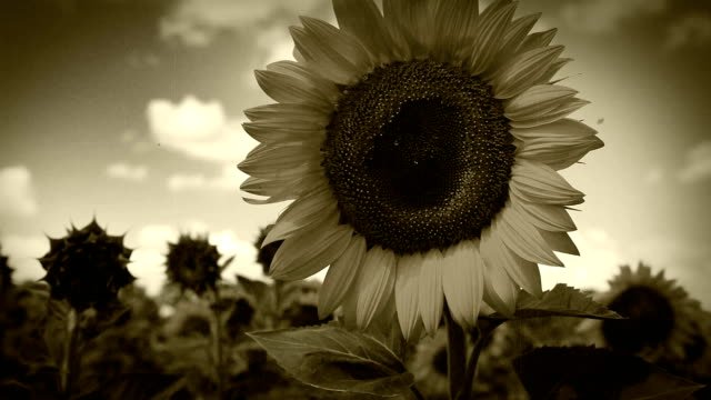 8mm old film camera : Sunflowers field video
