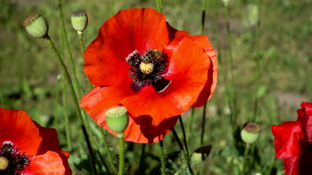 a Bee, Sits on a Blooming Red Poppy, Close-Up video