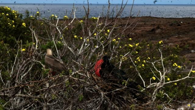 vídeos de stock, filmes e b-roll de uma maminha e fregata aninhando na ilha genovesa nas galápagos - atobá
