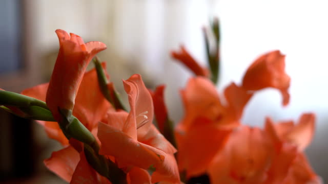 a bouquet of gladioli of orange color is in a vase on the table. FullHD video