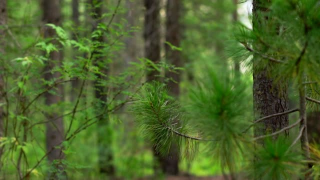 a branch of a coniferous tree closeup video