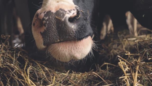 eine kuh isst heu in einer holzscheune in der schweiz - schnauze stock-videos und b-roll-filmmaterial
