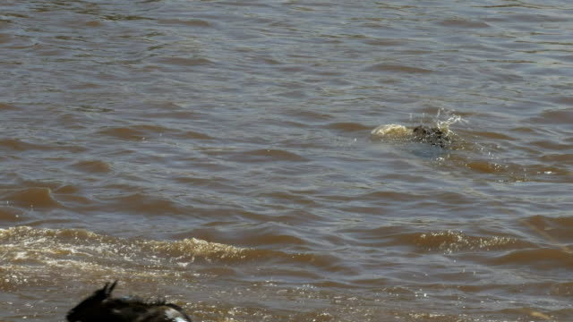 a crocodile attacks a young wildebeest in the mara river video