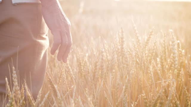 vídeos de stock e filmes b-roll de a female hand holds a palm over the spikelets - vídeos de milho