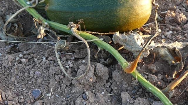 ett fält av pumpor planterade för kernel.pumpkin utsäde planteras för utsäde, pumpa odlade jordbruks-området, nära skörd pumpor, - skalhylsa bildbanksvideor och videomaterial från bakom kulisserna