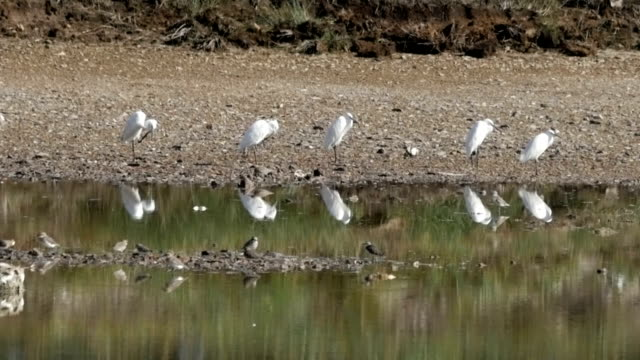 a flock of Great White Egret video