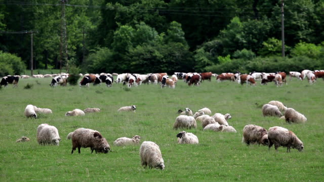 a flock of sheep and cows - farm animals stock videos and b-roll footage