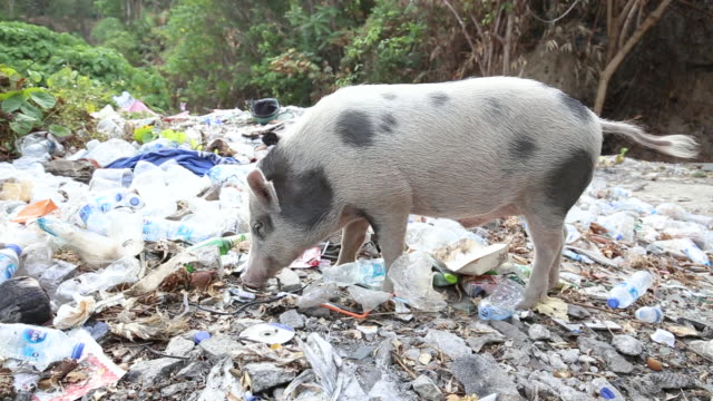 vídeos de stock e filmes b-roll de a forest full of garbage and wild piglet feeding on waste thrown at the mountain. animals eating throwing plastic waste. save the world. - desperdício alimentar