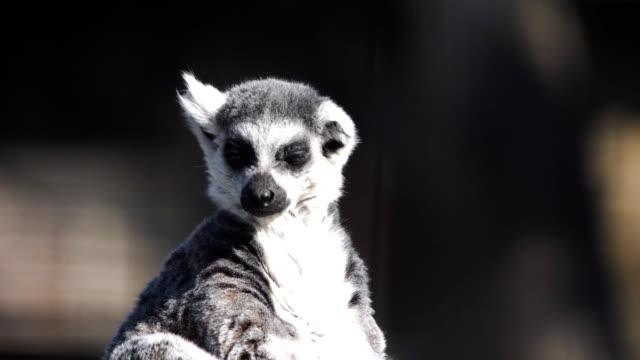 en rolig fluffiga lemur sola och nosar på dofterna - lemur bildbanksvideor och videomaterial från bakom kulisserna