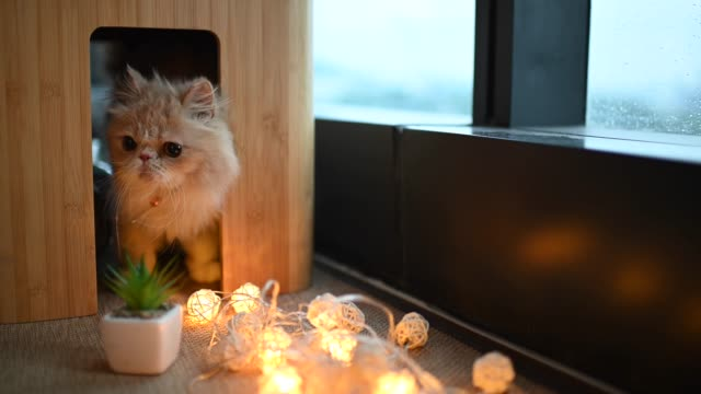 a furry domestic cat hiding under the table curiously looking and peeping
