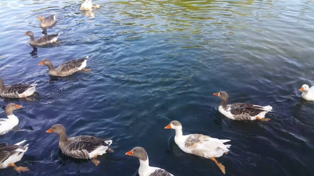 a group of ducks swim in the lake and eating thrown by tourists Pop corn and immersed in water, eating the moss that was filmed in the tourist town of Jermuk