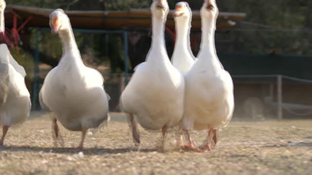 vídeos de stock, filmes e b-roll de são alimentados com um grupo de animais de fazenda em fazenda - animais da fazenda