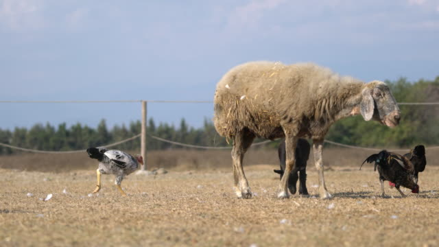 a group of farm animals are fed in farm video