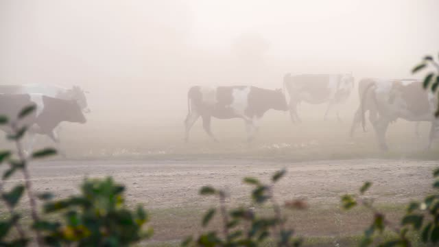 a herd of cows in the fog - giovenca video stock e b–roll