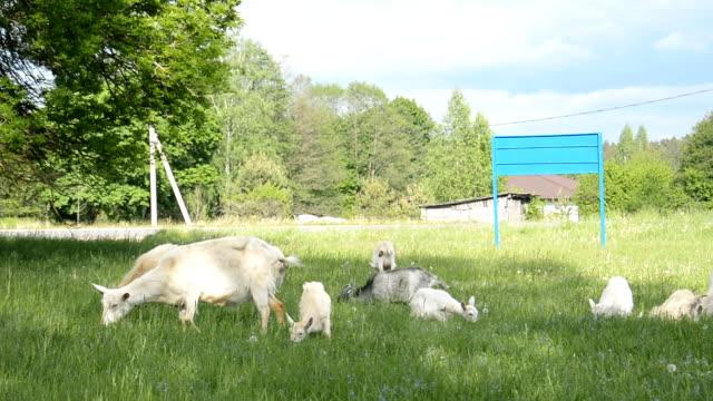 a herd of domestic goats graze on a green meadow and eat fresh grass - длина стоковые видео и кадры b-roll
