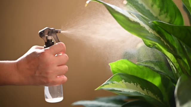 a human hand spray on dumbcane leave in the evening indoor at balcony using a spray bottle watering the plant