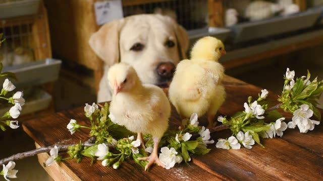 a Labrador dog watches two small chickens on a wooden table against the background of a twig with spring cherry blossoms a Labrador dog watches two small chickens on a wooden table against the background of a twig with spring cherry blossoms. The concept of spring, new life, Easter videos of dogs mating stock videos & royalty-free footage