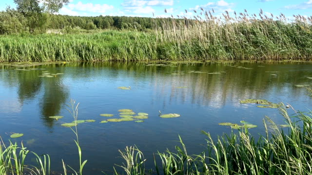 a Lake With Thickets of Reeds in a Summer Sunny Day video