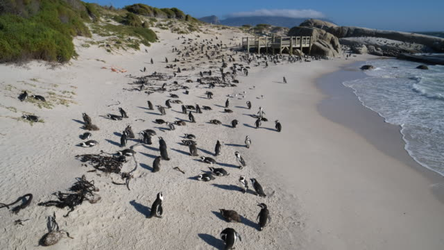 a large colony of african penquins at boulders beach, cape town, south africa - masso video stock e b–roll