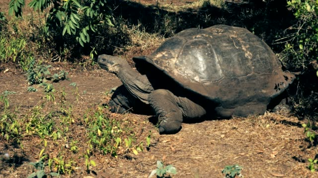 a large giant galapagos tortoise feeding at isla santa cruz in the galapagos a large giant galapagos tortoise feeding at isla santa cruz in the galapagos islands giant tortoise stock videos & royalty-free footage
