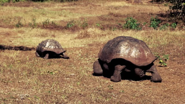 a large male giant tortoise pursuing a female on santa cruz in the galapagos a large male giant tortoise pursues a female on isla santa cruz in the galapagos islands giant tortoise stock videos & royalty-free footage