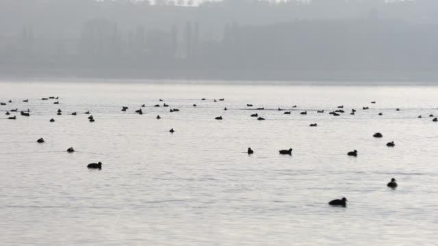 湖の上にたくさんの野生のアヒル - バードウォッチング点の映像素材/bロール