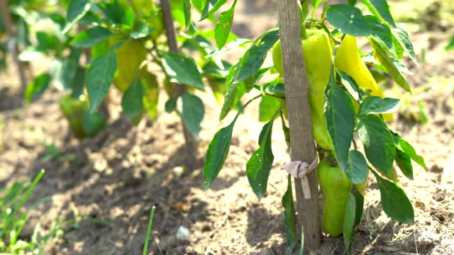 a large yellow pepper ripens on a branch. vegetable garden on the farm. warm sunny day. fullhd - paprica video stock e b–roll
