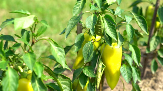 a large yellow pepper ripens on a branch. vegetable garden on the farm. warm sunny day. FullHD video