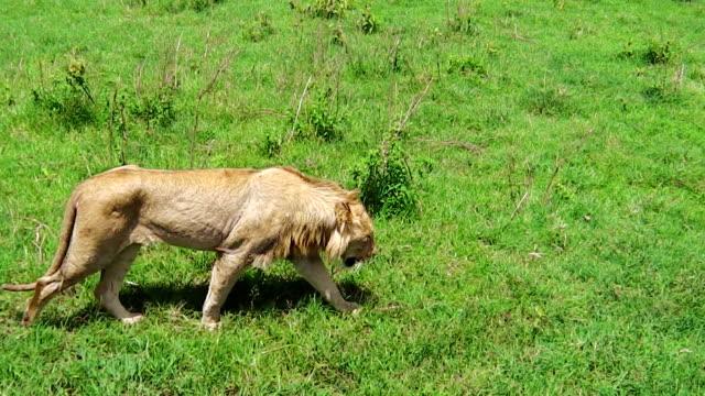 ett lejon som promenader - single pampas grass bildbanksvideor och videomaterial från bakom kulisserna