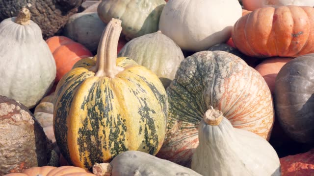 a lot of different pumpkins - zucchini video stock e b–roll
