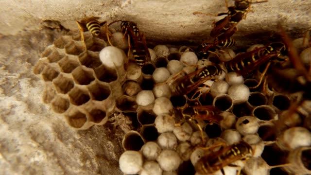 viele wespen kriechen auf trockenen honeycomb closeup - hornisse stock-videos und b-roll-filmmaterial