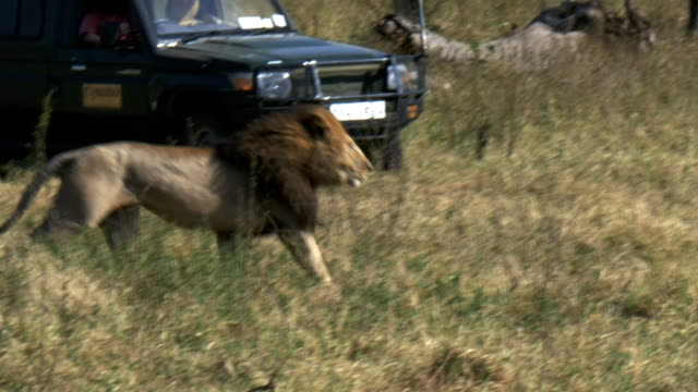 a male lion flees his rivals in masai mara, kenya video