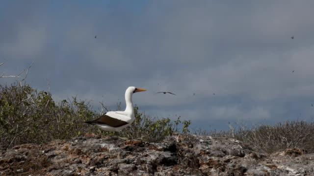 vídeos de stock, filmes e b-roll de um peito de nazca acasalamento exibição na ilha genovesa nas galápagos - ilha genovesa