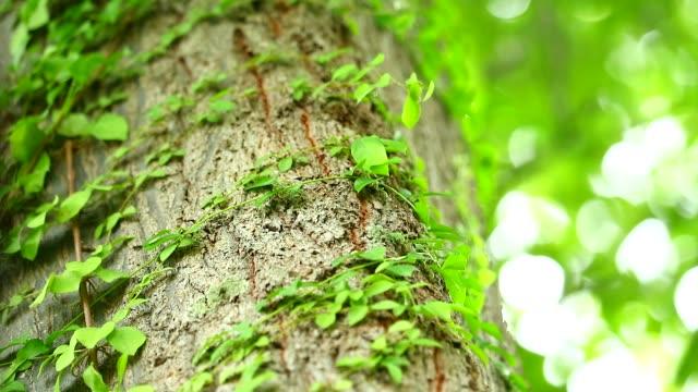 나무를 감싸는 기생 덩굴 생활을 위해 물과 햇빛에 의존하기 위해, 삶의 개념은 서로에 따라 달라집니다 - 아이비 스톡 비디오 및 b-롤 화면