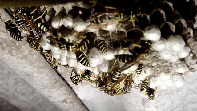 eine vielzahl von gelb und orange gestreiften wespen bewegen auf seine honeycomb-nahaufnahme - wespe stock-videos und b-roll-filmmaterial